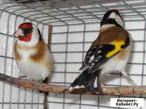 Певчие птицы.Щегол. Чиж Курган