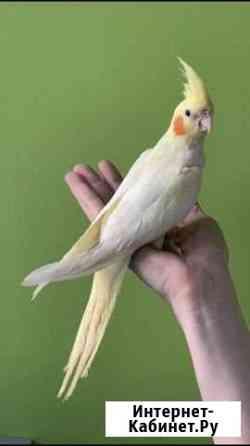 Попугай-выкормыш Кореллы Москва