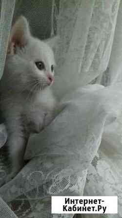 Британский кот Чебоксары