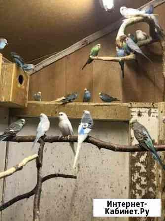 Волнистые попугаи Архангельск