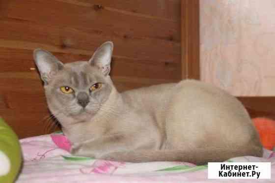 Бурманский кот Курган