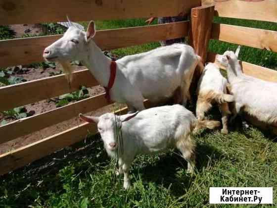 Коза с козлятами Киров