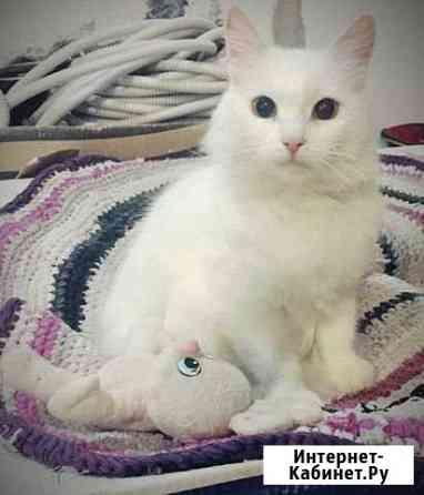Белоснежная кошка Белла Чебоксары