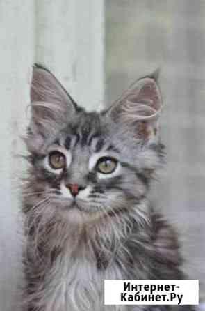 Мейн-кун котята разных окрасов(скидки) Липецк