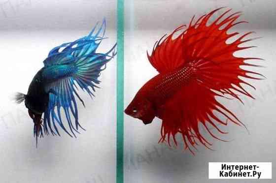 Рыба аквариумная Курск