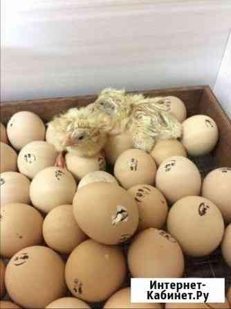 Цыплята бройлеры кобб 500. Выращиваю цыплят Энгельс