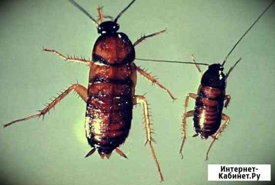 Уничтожение насекомых: клопы тараканы клещи блохи Киров