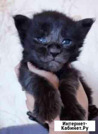 Мейн кун котята Тверь
