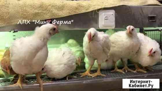 Цыплята на откорм подрощенные(не бройлер) Тольятти