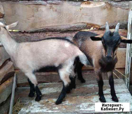 Козлята, Чешская порода, 3,5 месяцев Чаны
