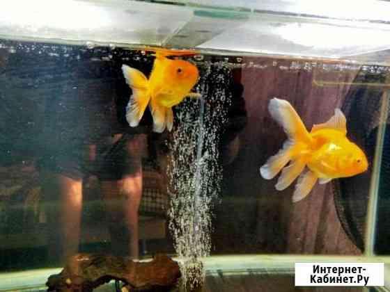 Золотые рыбки Ульяновск