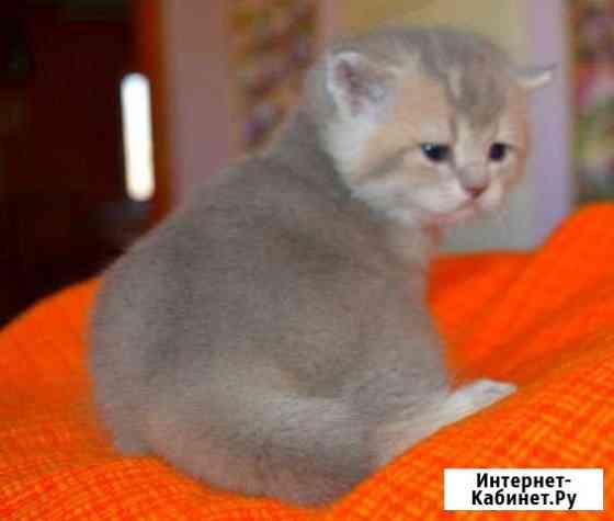 Золотая голубая шиншилла -котята Тула