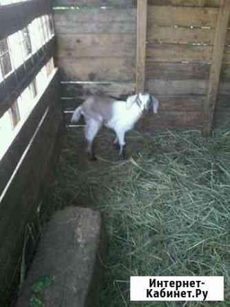 Продам коз, козла на племя и козлят Сызрань
