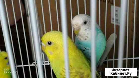 Попугаи волнистые Комсомольск-на-Амуре