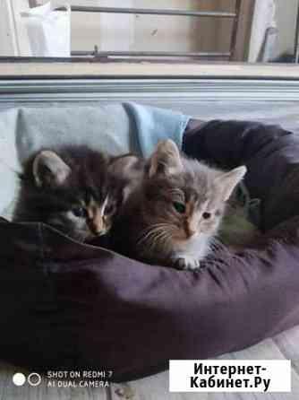 Котята в дар Тула