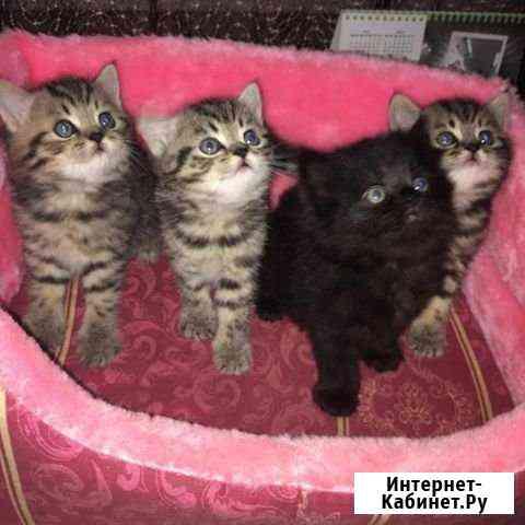 Котята британцы Смоленск
