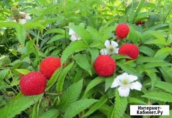 Саженцы земляничной (клубничной ) малины Рязань