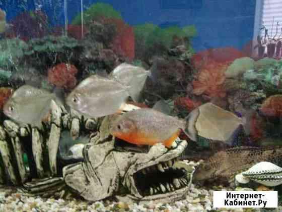 Рыба метинис Белгород