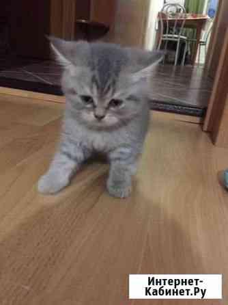 Британский котёнок Новосибирск