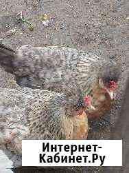 Семья курочек Легбар Муром