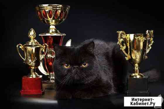 Кот на вязку Владимир