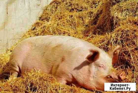 Свиньи живым весом Дивное