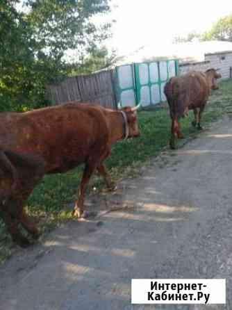 Коровы Прохладный