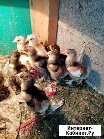 Цыпленок Белгород