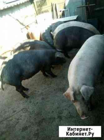 Свиньи на мясо Невинномысск