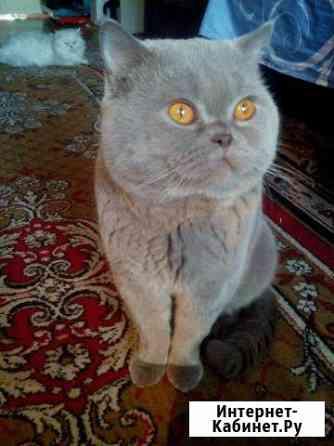Британский котик Челябинск