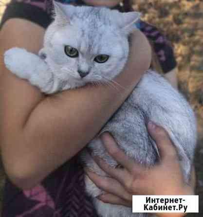 Ищем кота для вязки. Золотая шиншилла Курск