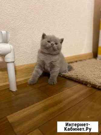 Котёнок шотландский Астрахань
