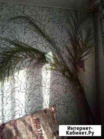 Пальма финиковая Абакан