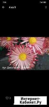 Хризантема кустовая Ижевск