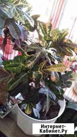 кодиум Цветок в горшке кодиум Кротон Тюмень