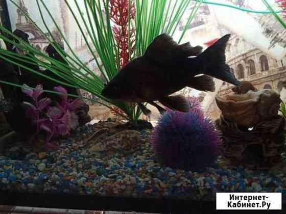 Золотая рыбка Комета чёрная 17см Курск