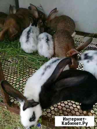Кролик Краснодар