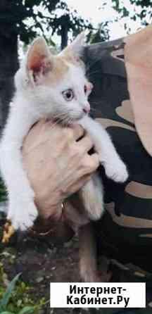 Котёнок -девочка Майкоп