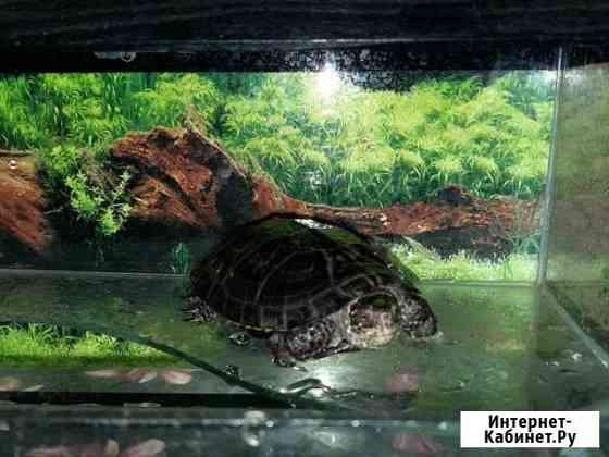 Черепаха Астрахань