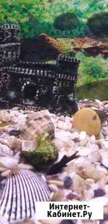 Мальки молинезии,чёрного и серого окраса подростки Калининград