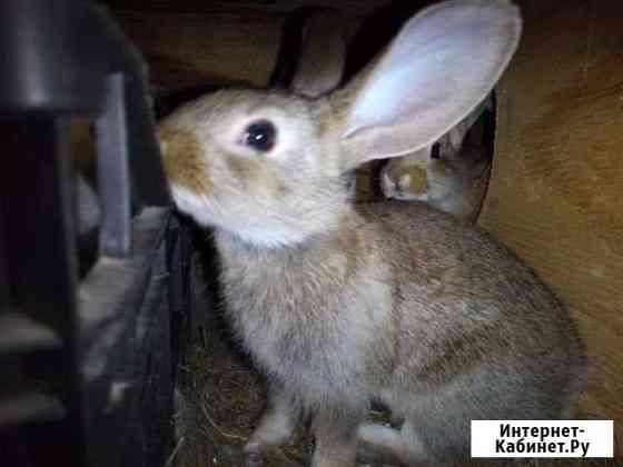 Крольчата Кондопога