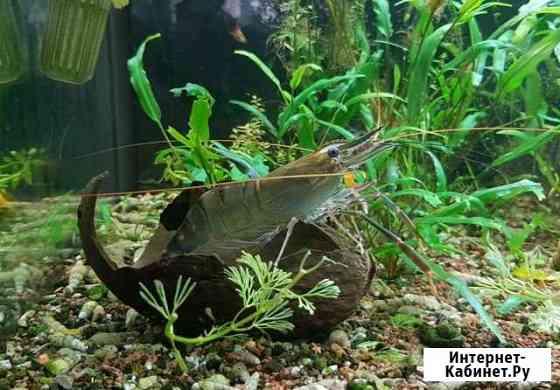 Креветка розенберга (Macrobracium rosenbergii) Курск