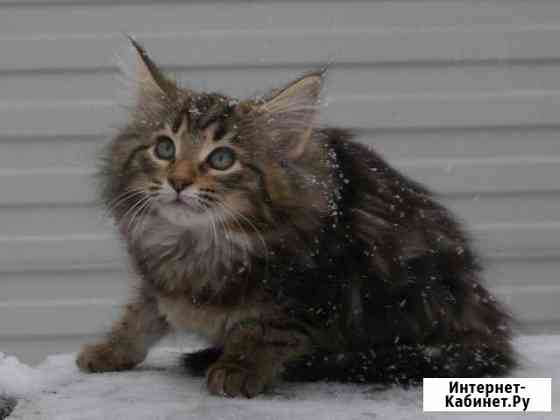 Котята породы норвежская лесная с документа Сургут