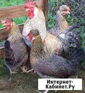 Породные цыплята Иркутск