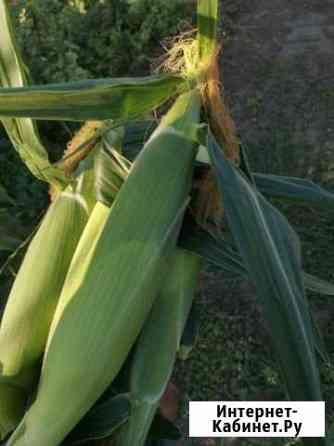 Кукуруза супер сладкая, Noa f1 Ладовская Балка