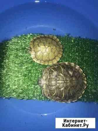 Красноухие черепахи Челябинск