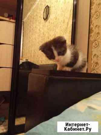 Шотландский котёнок Набережные Челны