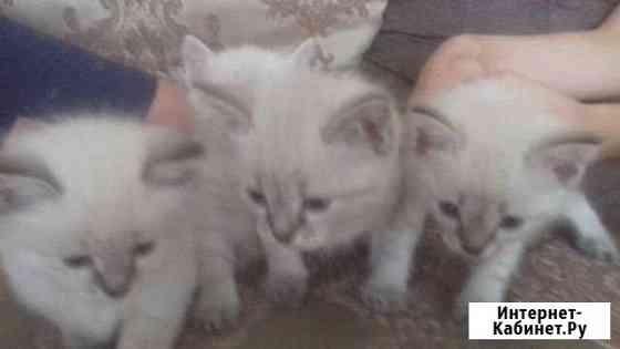 Тайские котята Тюмень