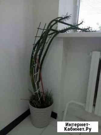 Странный кактус Ставрополь