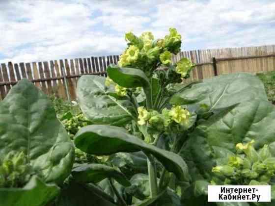 Семена махорки Ульяновск